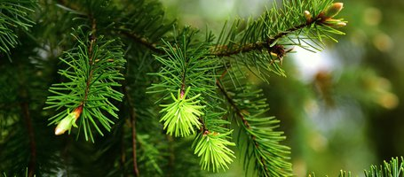 Pruning the Christmas pine tree